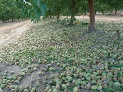 Early Almond harvest