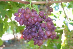 Time for California Table Grapes