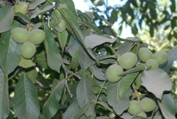 California Ag Today: California Walnut Growers Support its Board