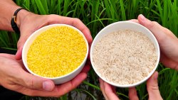 Golden Rice Refusal Kills Millions