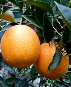 Citrus Research Board Seeks to Hire New President