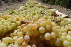 raisin grapes