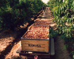 Wawona Packing Co. Takes Precautionary Step of Voluntarily Recalling Products