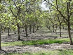 Northern CA Walnut Trees Confused