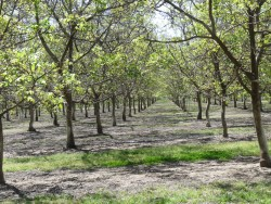 Northern CA Walnut Trees Confused