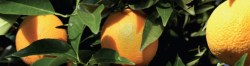 UC IPM Oranges
