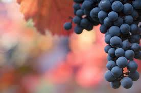 California Cabernet Winegrapes