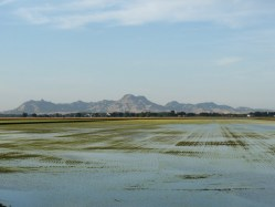 California-rice-field with Sutter Buttes in Background