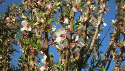 Almond Alliance Advances Almond Issues