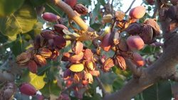 Pistachios Suffer Navel Orangeworm Damage
