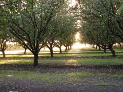 UC Offers Almond Production Short Course Nov. 5–7
