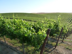 California Winegrape Vineyard