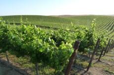 California Winegrape Vineyard