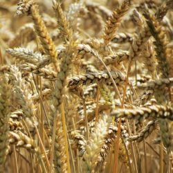 Uniqueness of California Wheat Industry