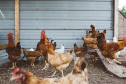 Avian Flu Risk is High