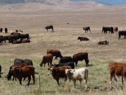 Farm Service Agency Can Help with Livestock Losses