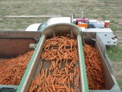 Getting Past Carrot Disease Pressure