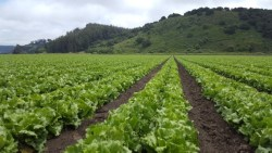 New Estimates on Broccoli and Lettuce Production Costs