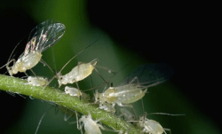 Imperial Farmers Spared from Alfalfa Aphid