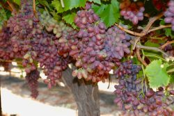 Enjoy California Table Grapes Year-Round
