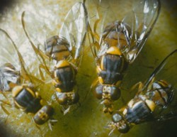 Oriental Fruit Fly Quarantine Expands in Northern California