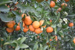 Fighting for Citrus Industry