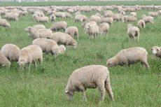 American Lamb