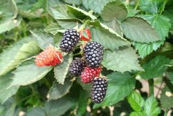 First-Ever UC Cost Study for Primocane-Bearing Blackberries Released