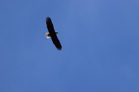 Lone bald eagle against the blue sky.