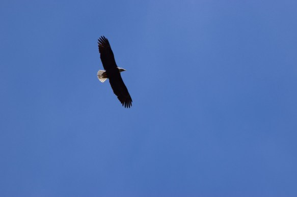 Bald eagle on the wing