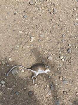 A kangaroo rate carcass as seen on Sierra Pass Road during a gravel ride.