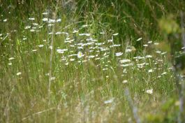 A field of white flowers. During our wildflower trip to Mill Canyon Road area near Coleville.