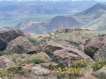 Looking east from Monitor Pass towards the Pinenuts. Those are sulpher flowers in the foreground.