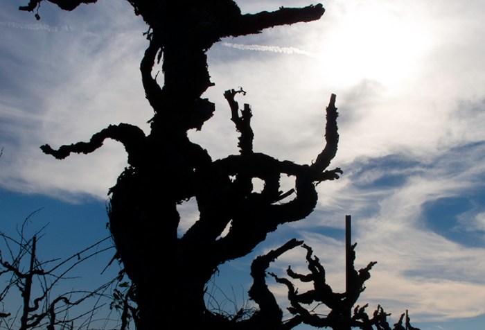 Old Vine Zinfandel Vine