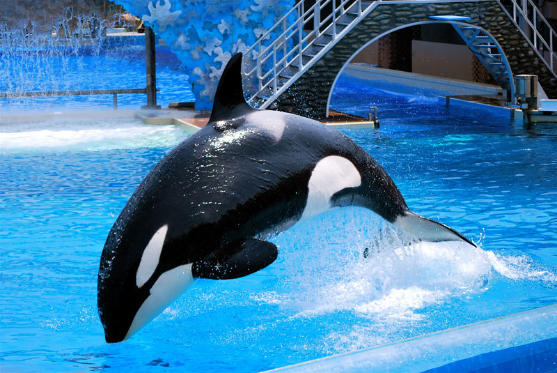 Killer Whale Hd Wallpaper San Diego Sea World Announces That They Re Ending Orca