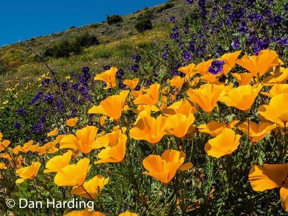 Oxnard Wildflowers