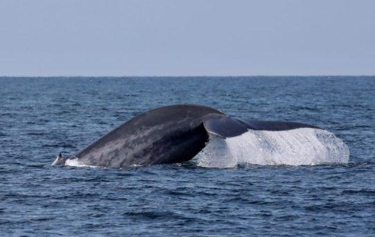 Blue Whale Watching Season Begins