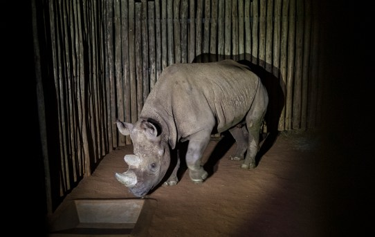 San Diego Zoo Global Donates Black Rhino to Tanzania as Part of Conservation Effort to Save the Species from Extinction