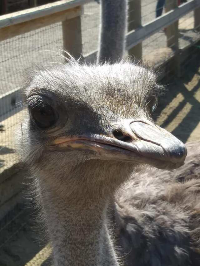 Ostrich face, ostrich feeding at OstrichLand USA in Buellton, California