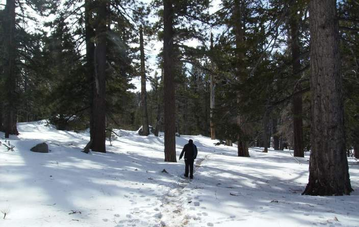 A man show-shoes under pine trees at Mount San Jacinto State Park