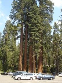 California's State Tree