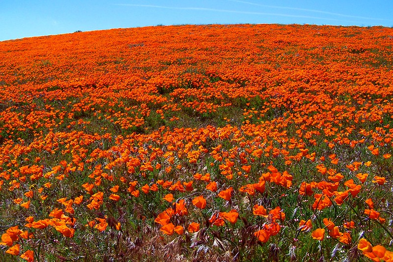 Antelope Valley Poppy Fields are a California landmark in the spring