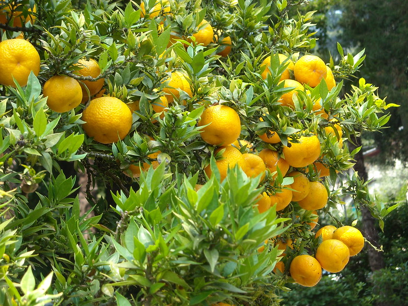 clementines are great container fruit trees