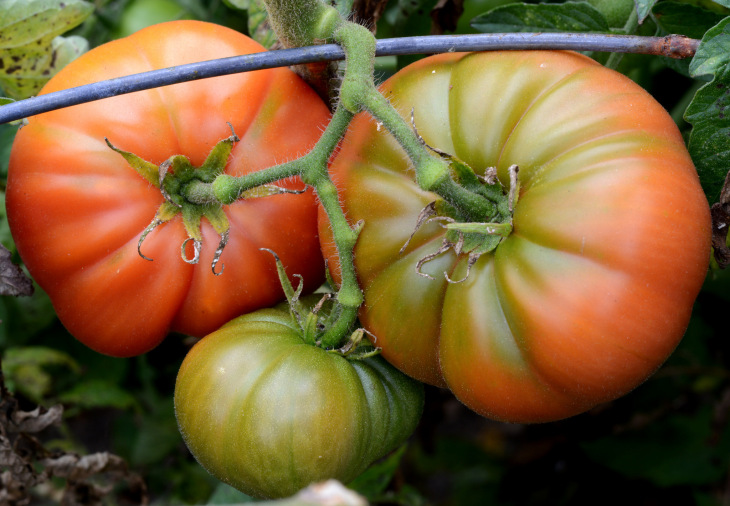 Tomato planting tips include finding a tomato suitable for your climate.