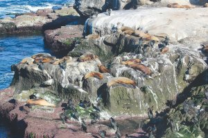 A public nuisance? Sea lions on the La Jolla bluffs
