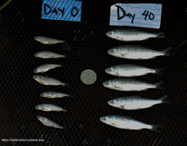 In February, scientists put 50,000 pinky-sized Chinook salmon into flooded test fields in the Yolo Bypass. Forty days later, they found the fish had grown nearly 1.5 inches longer and packed on weight at an average rate of 0.17 grams/day. Source: Carson Jeffres