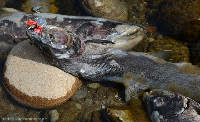 Unsightly as these dead salmon appear on Butte Creek, they're a big food bonus to turkey vultures, raccoons and other wildlife. Photo by Bill Husa, Chico Enterprise-Record