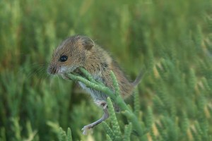 Salt Marsh Harvest Mouse, an endangered species at Suisun Marsh. Source: California Department of Water Resources