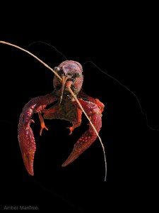 Red_swamp_crayfish_isolated