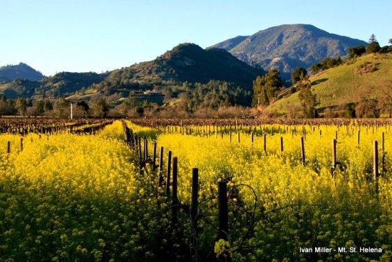 IvanMiller_Mustard_Mt_St_Helena